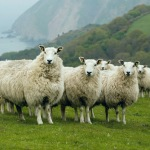 Exmoor Blueface sheep on the hills above Lynmouth, Devon, c.2011